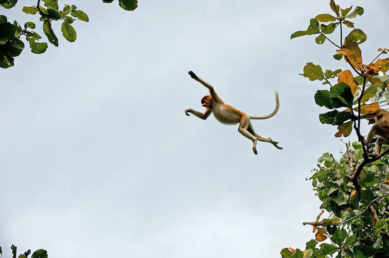 Female Proboscis Monkey, Bako National Park, Malaysian Borneo