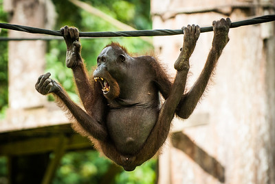 Adult Orangutan, swinging on a rope, Sepilok, Borneo