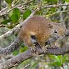 Borneo Black Banded Squirrel