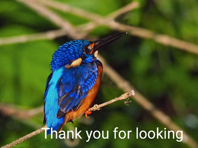 Kingfisher on the Kinabatangan River