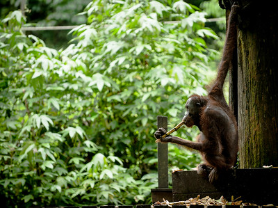 An adult Orangutan sits and eats bamboo, Sepilok, Borneo