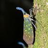 Lantern Bug (Pyrops Whiteheadi)