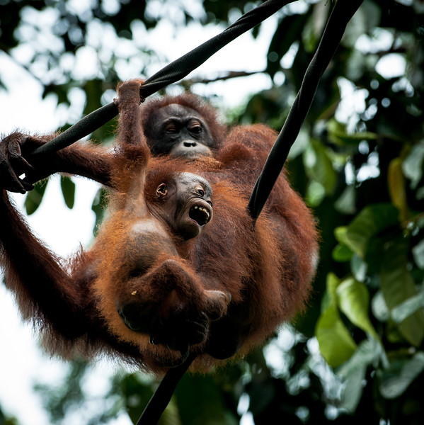 A mother and baby Orangutan sitting on a rope, Sepilok, Borneo