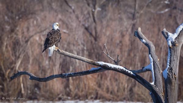 Bald Eagle, Bosque del Apache NM