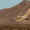 Calling All Cranes, Bosque del Apache NM