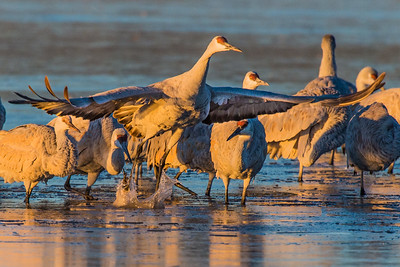 Sandhill crane highlighted by the early morning light on their initial take off breaking free from an ice covered pond.  Bosque del Apache NWR  San Antonio, NM USA