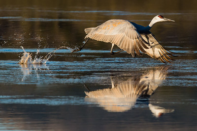 Sandhill crane on early morning initial take off from its overnight marsh. The cranes fly to various fields to feed. Bosque del Apache NWR  San Antonio, NM USA