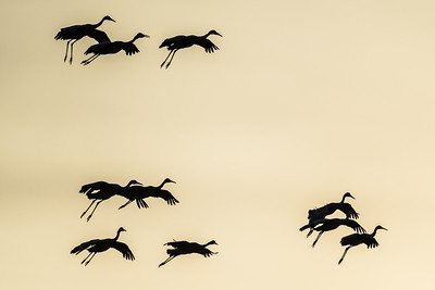 Silhouette of evening fly-in of sandhill cranes.  Bosque del Apache NWR  San Antonio, NM USA