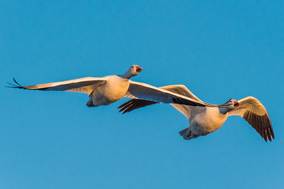 A pair of snow geese in flight.  Bosque del Apache NWR  San Antonio, NM USA.