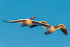 A pair of snow geese in flight.  Bosque del Apache NWR  San Antonio, NM USA.