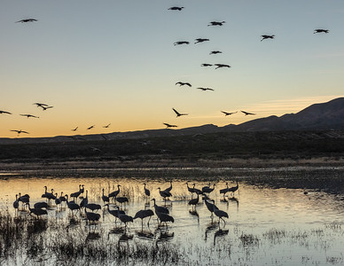 Greater sandhill cranes (Antigone canadensis)  after reconvening en masse at dusk for the evening.  Bosque del Apache National Wildlife Refuge in the Middle Rio Grande Valley. San Antonio, New Mexico.