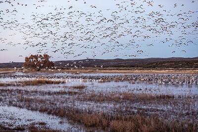 An early morning lift-off of thousands of wintering snow geese (Anser caerulescens).   Greater sandhill cranes (Antigone canadensis) await in the marsh waters.  Bosque del Apache National Wildlife Refuge in the Middle Rio Grande Valley. San Antonio, New Mexico. Bosque del Apache National Wildlife Refuge, San Antonio, New Mexico.   This goose breeds north of the timberline in Greenland, Canada, Alaska, and the northeastern tip of Siberia, and spends winters in warm parts of North America from southwestern British Columbia through parts of the United States to Mexico.   The snow goose is listed as 'Least Concern' by the International Union for Conservation of Nature due to its wide distribution and abundance throughout North America, southwards through Mexico, and into Central America.