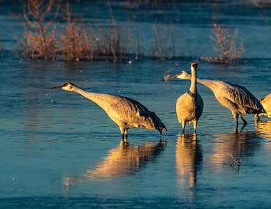 Greater sandhill cranes (Antigone canadensis) at sunrise.  Bosque del Apache National Wildlife Refuge in the Middle Rio Grande Valley. San Antonio, New Mexico.