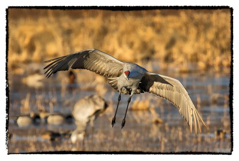 Sandhill Crane Landing-3-BSQ_4454
