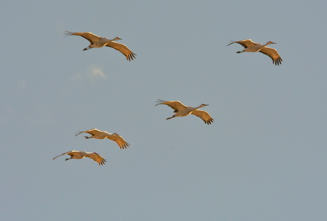 FiveSandhillCranes in formation_SQ_4639