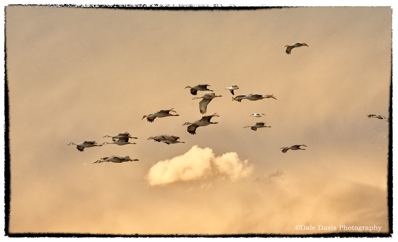 Sand Hill Cranes and a few geese at dusk_BSQ_4937