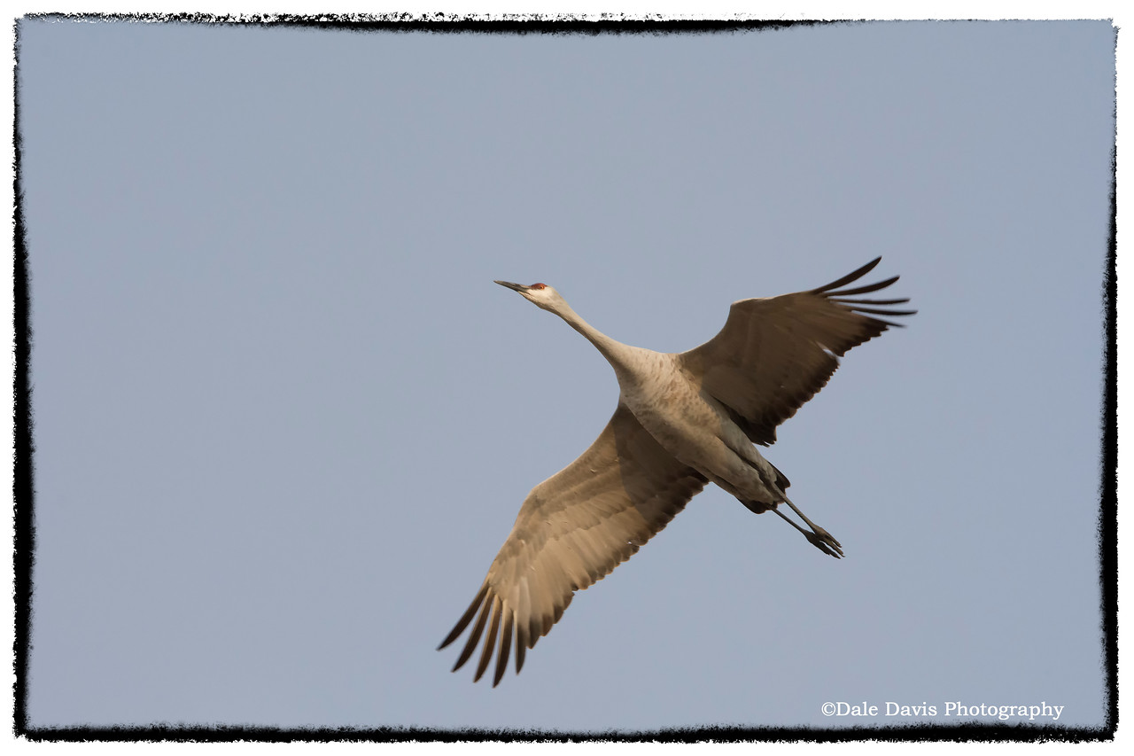 Sand Hill Crane in flight_BSQ_4879