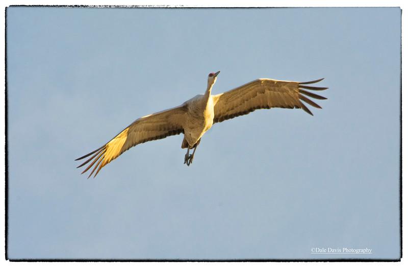 Sand hill crane overhead_BSQ_4734