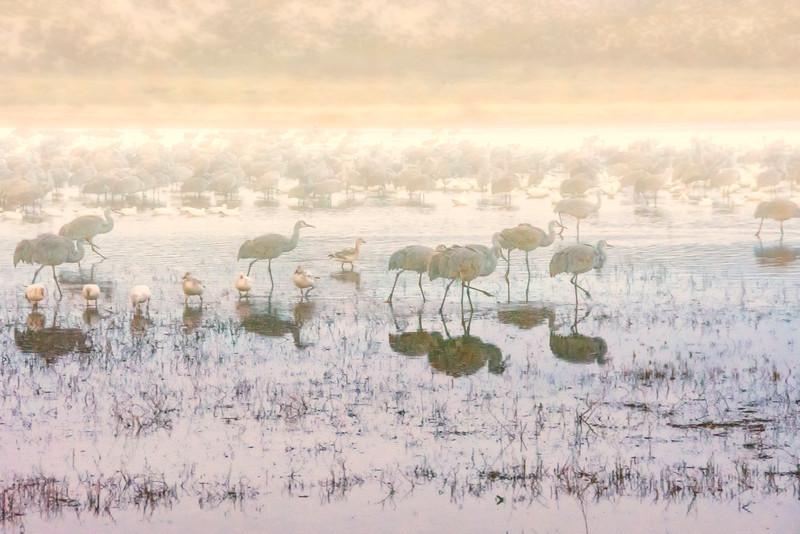 Cranes-warm fog-BSQ_5076