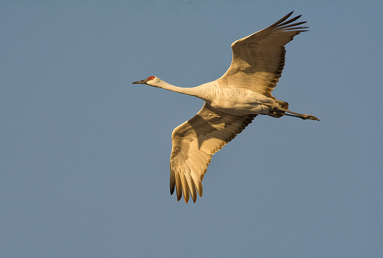 Sandhill crane in flight-close up_BSQ_4812