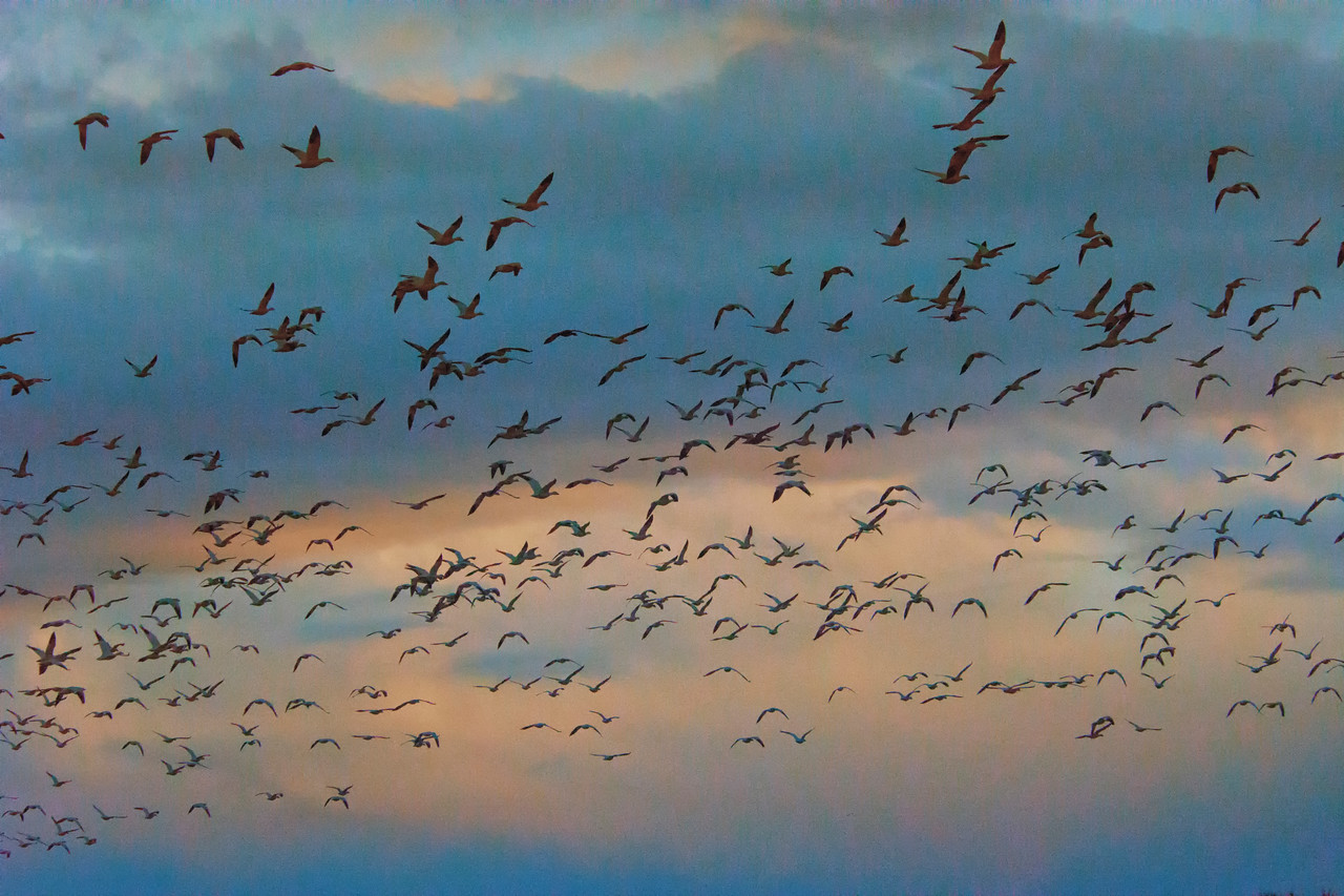 SnowGeese Explosion-3-BSQ_5225