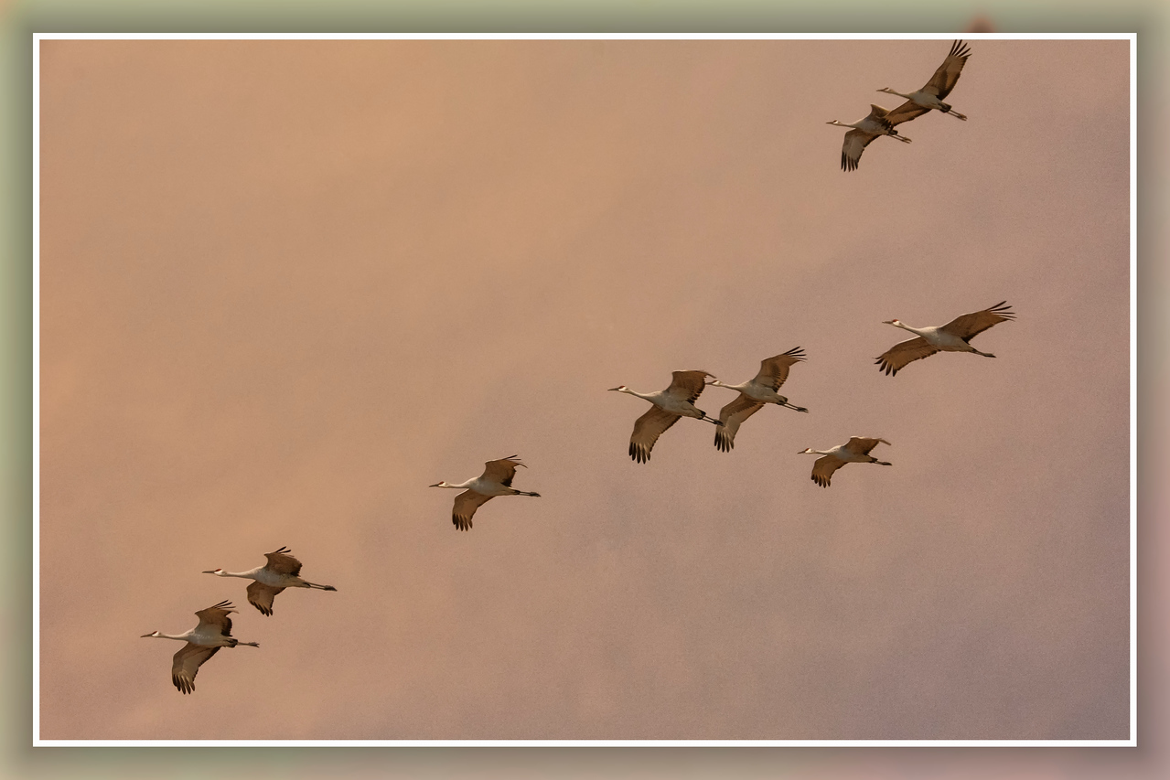 Nine sand hill cranes at dusk_BSQ_4951