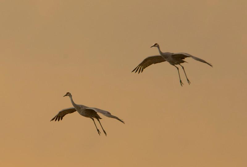 Two cranes landing_BSQ_4922