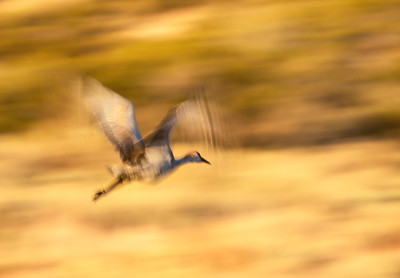 Sandhill Crane at sunset II