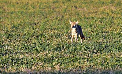 Bosque_Coyote_3_D75_1755