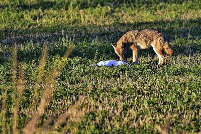 Bosque del Apache NWR:  Coyote & Dead Snow Goose
