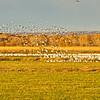 Bosque del Apache NWR:  Snow Geese