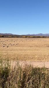 Short Video of Sandhill Cranes in a Grain Field