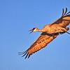 Sandhill Crane, male:  Bosque del Apache NWR