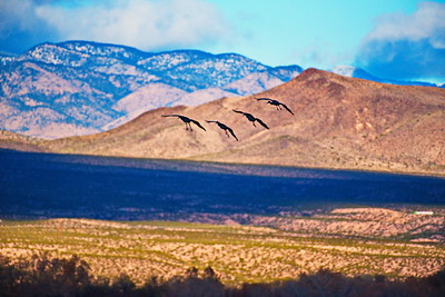 Bosque_del_Apache_4-Cranes_Mtns_Background_D75_1241