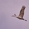 Sandhill Cranes of Bosque del Apache NWR