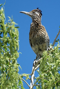 Greater Roadrunner, Bosque del Apache NWR