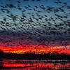 Sunrise Snow Geese