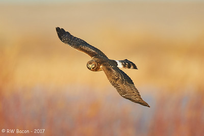 Autumn Northern Harrier