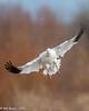 Landing Snow Goose