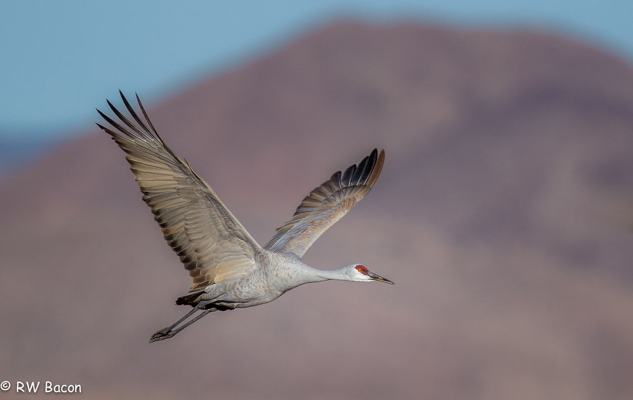 Sandhill Wings Up-1