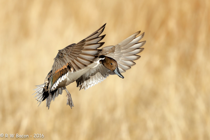 Pintail Approach