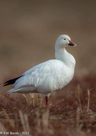 Snow Goose Posing