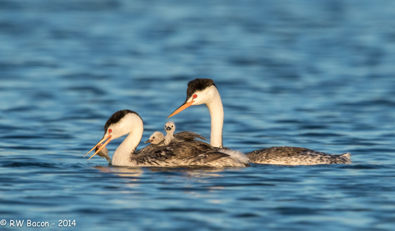 Clark's Grebe Pair with Chicks