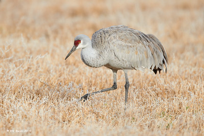 Sandhill in Frosty Grass