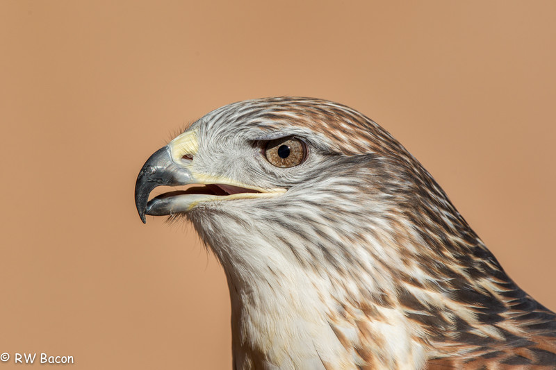 Ferruginous Hawk-1