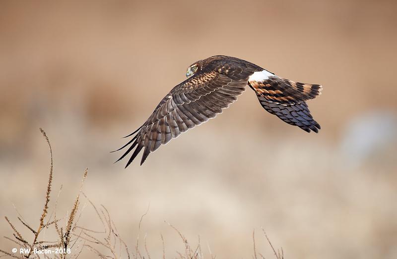 Northern Harrier Over the Shoulder