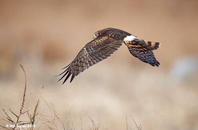 Northern Harrier Over the Shoulder