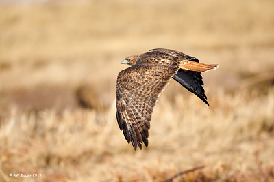 Red-tailed Hawk Over the Shoulder