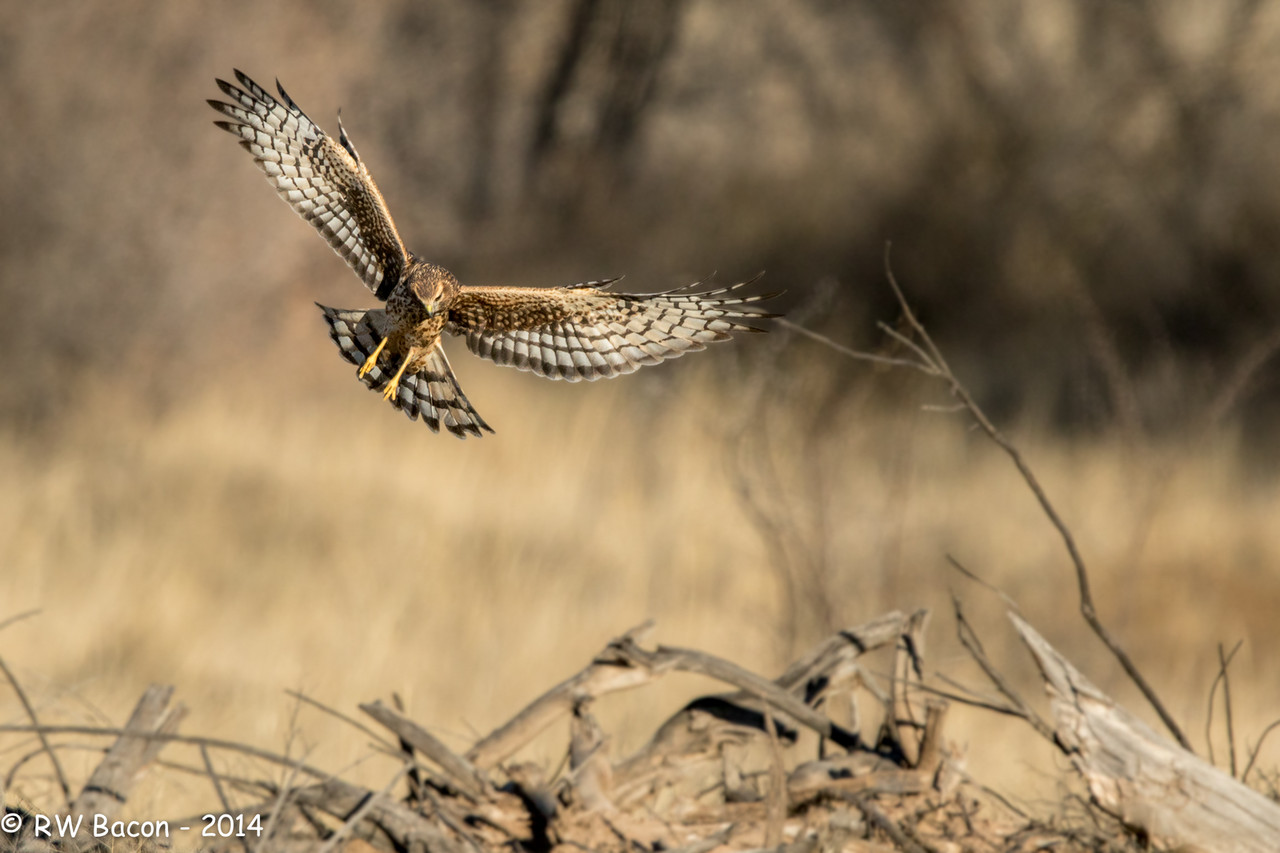 Northern Harrier Over the Woodpile