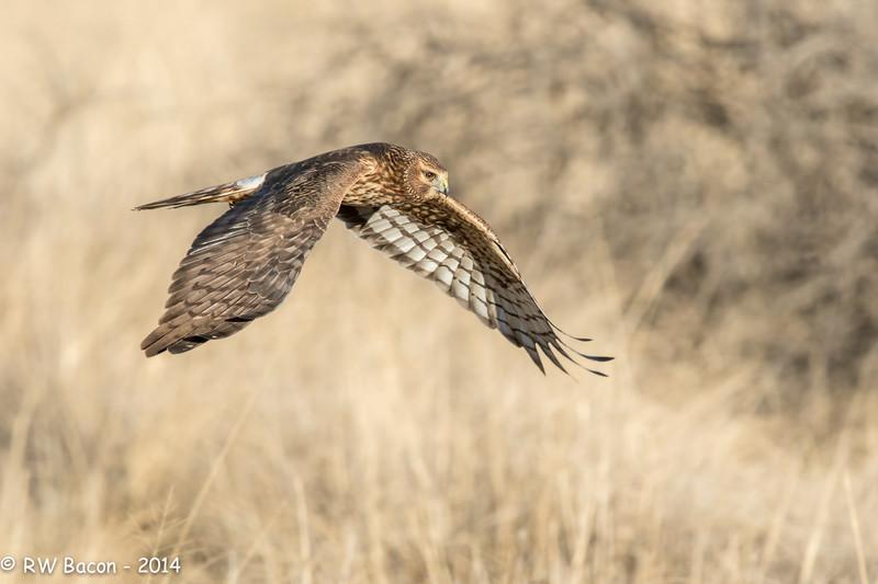 Northern Harrier Cruzin